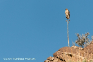 Red-tailed hawk perching on old agave flower stalk