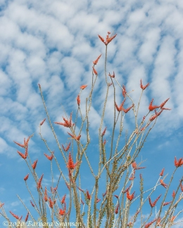 Ocotillo and clouds
