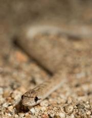 Desert Glossy Snake