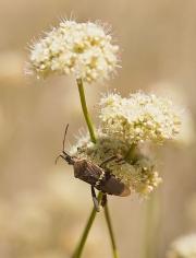 Beetle and Buckwheat