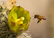 Bee considering a Jumping Cholla
