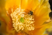 Bee in a prickly pear
