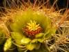 Barrel Cactus <em>(Ferocactus cylindraceus)</em> in bloom
