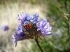 A beetle in Phacelia <em>(Phacelia tanacetifolia)</em>