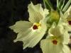 Ghostflowers <em>(Mohavea confertiflora)</em> like dry, sandy, steep edges of canyons
