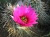 Hedgehog cactus <em>(Echinocereus engelmannii)</em>