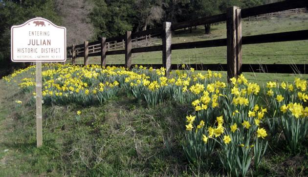 daffodils630