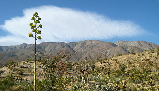 Agave (Century Plant) and Whale Peak