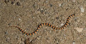 Desert Shovel-nosed Snake
