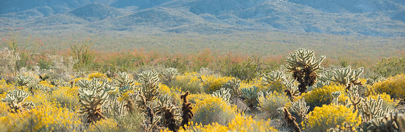 Cholla cactii panorama in Mine Wash