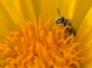 Bee in a desert sunflower