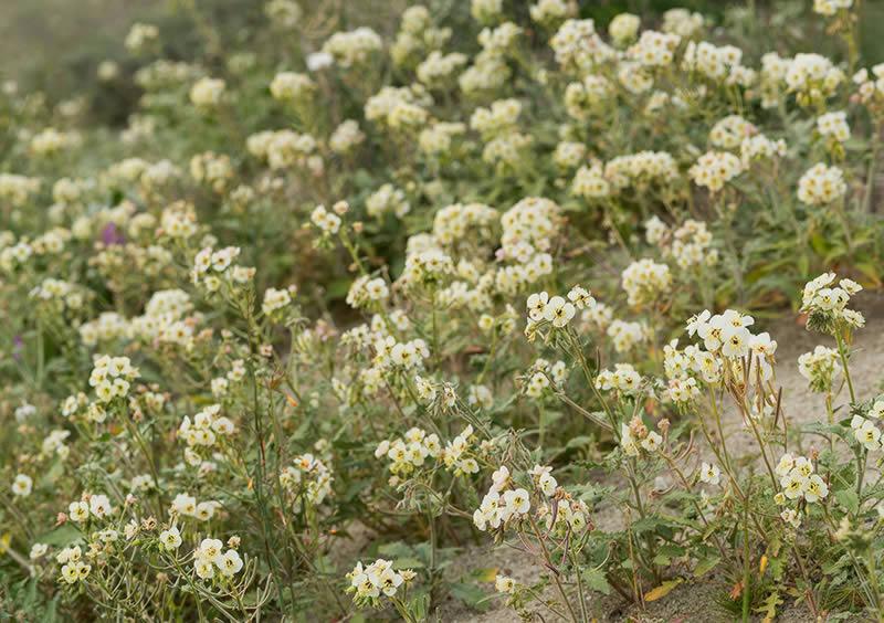 Brown-eyed Primrose, Anza Borrego Desert State Park