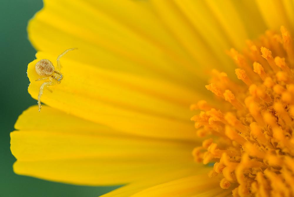 Spider in a sunflower