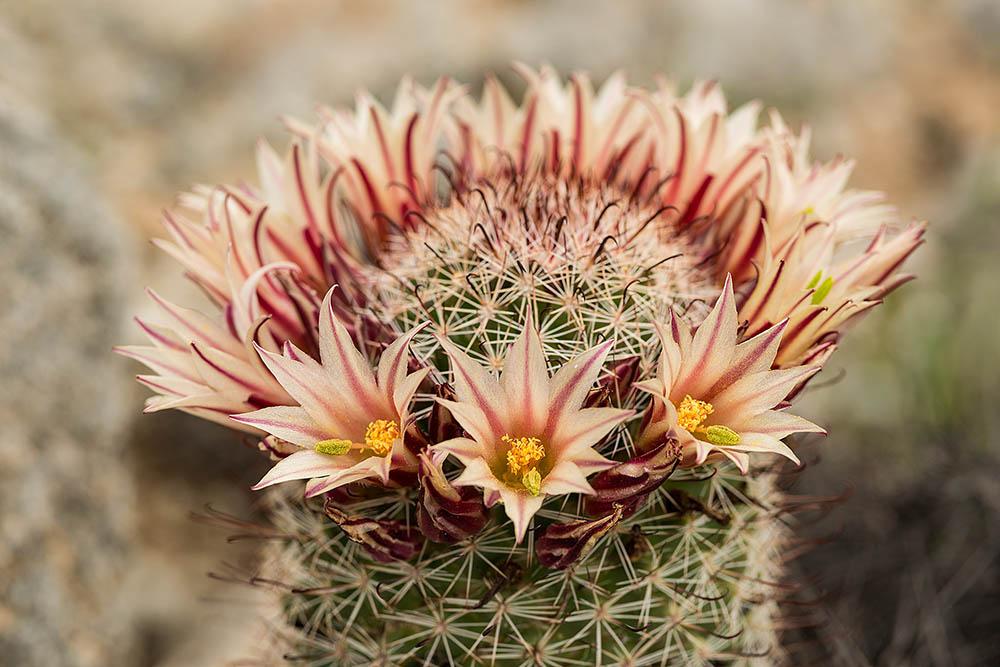 Mammillaria in full bloom