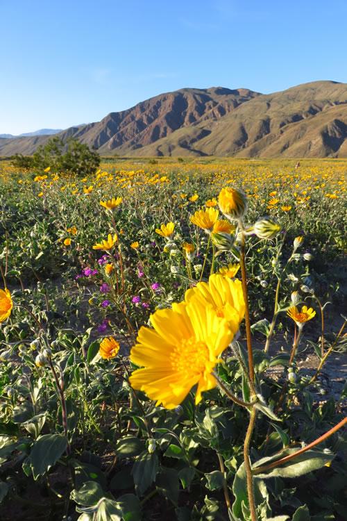 Budding Desert Sunflower, Henderson Canyon Road, Borrego Springs