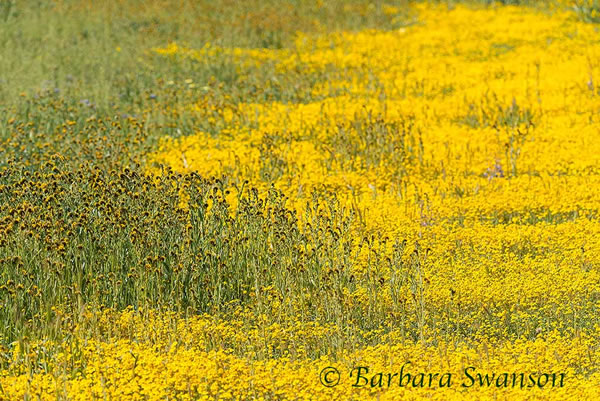 Fiddkenecks, Carrizo Plain
