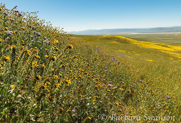 Fiddleneck onTemblor foothills