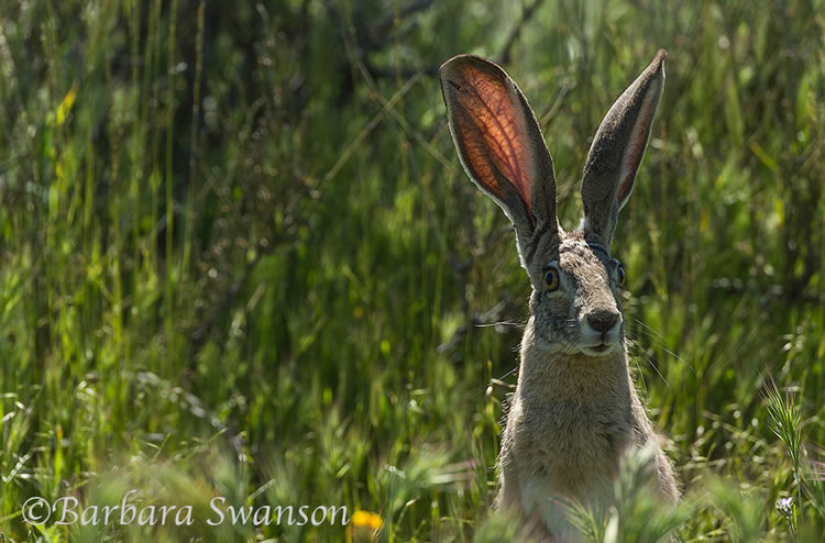 A jackrabbit in the Carrizo Plain