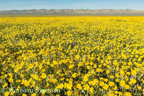 Sunflowers across the Carrizo Plain