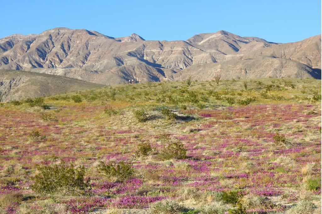 Landscape of verbena