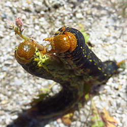 Sphinx Caterpillars